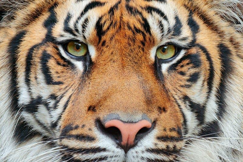 Närbilddetaljstående av tigern Den Sumatran tigern, Pantheratigris sumatrae, sällsynt tigerunderart, som bebor, indonesen är royaltyfri bild