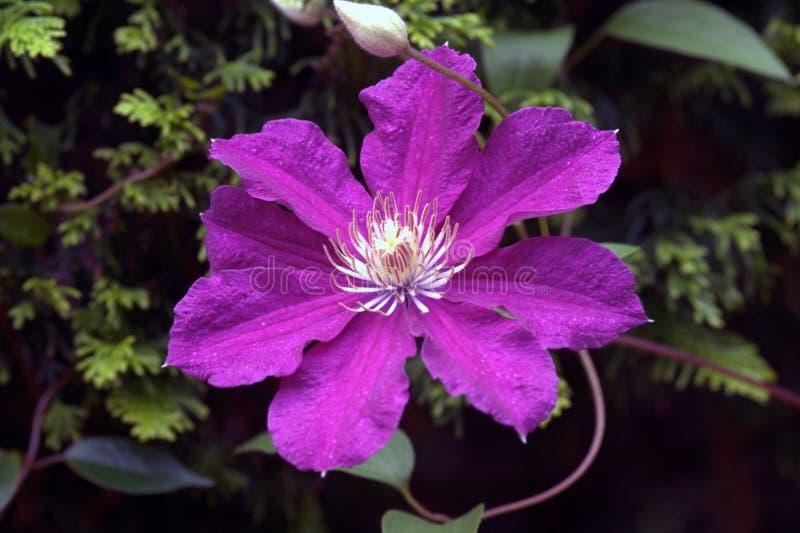 Närbilden av en klematis blommar på en mörk bakgrund arkivbilder