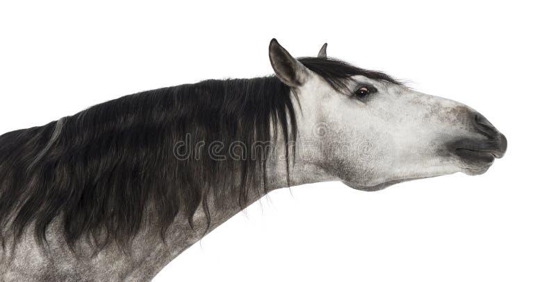 Närbilden av ett Andalusian huvud, 7 gammala år, dess sträckning hånglar, också bekant som den rena spanska hästen eller PRE royaltyfri fotografi