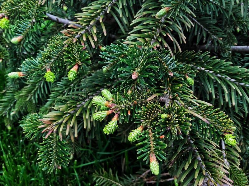 Närbilden av ett ungt sörjer trädet med gröna kottar royaltyfri bild
