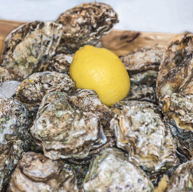 Närbilden av förseglade skal av nya ostron, citronen och stora iskuber ligger på ett magasin Begreppet av en picknick Lyxig skald arkivbilder