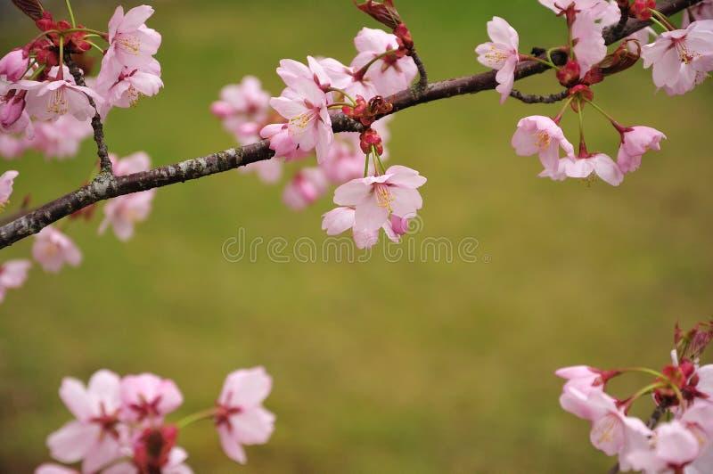 Närbilden av fattar av ett blomma körsbärsrött träd royaltyfri foto