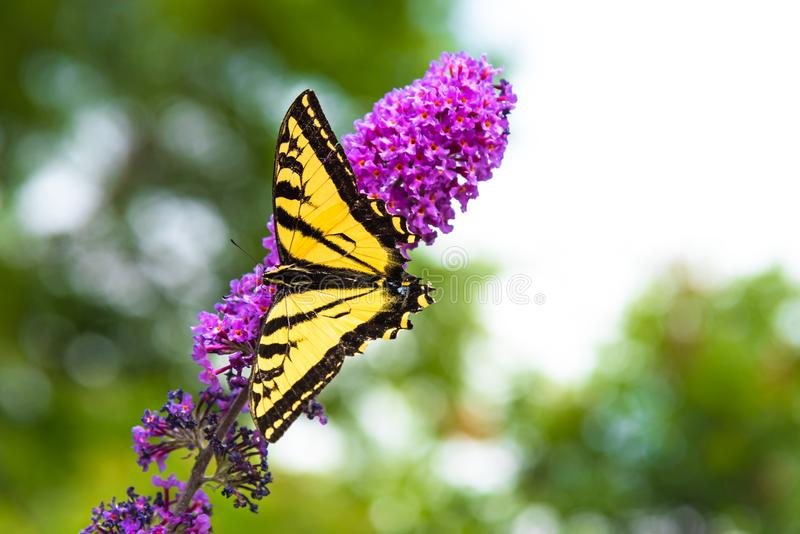 Närbilden av guling- och svartswallowtailfjärilen sätta sig på rosa blommor för fjärilsbusken arkivfoton