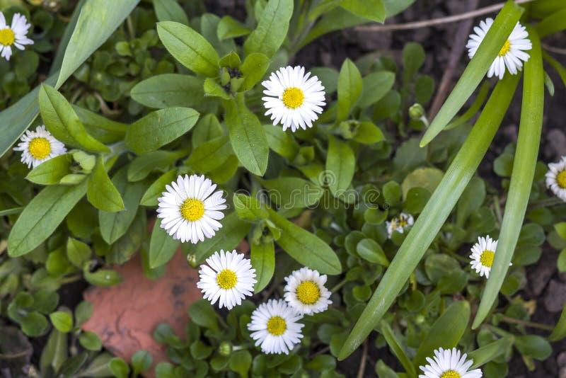 Närbilden av härliga ljusa nya fälttusenskönor med mjuka vita kronblad och gul hjärta som blommar mellan överdådig gräsplan, lämn royaltyfri bild