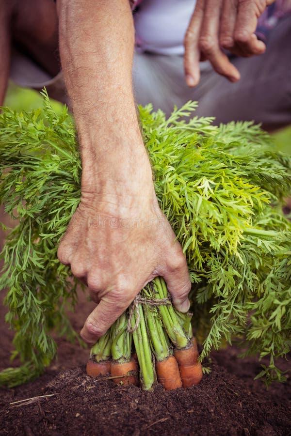Närbilden av hållande morötter för trädgårdsmästaren samlar ihop på trädgården royaltyfri foto