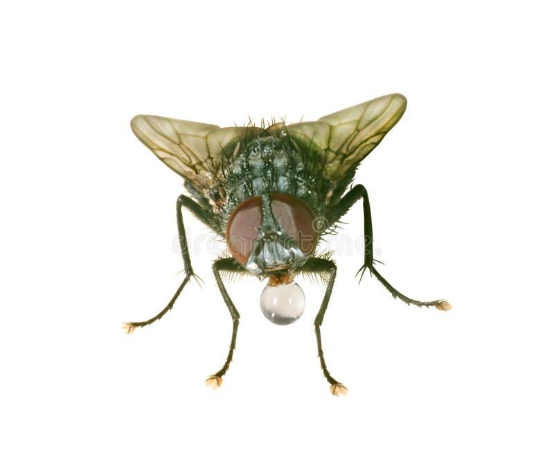 Närbilden av hem-flugan med en tappa av bevattnar arkivbild