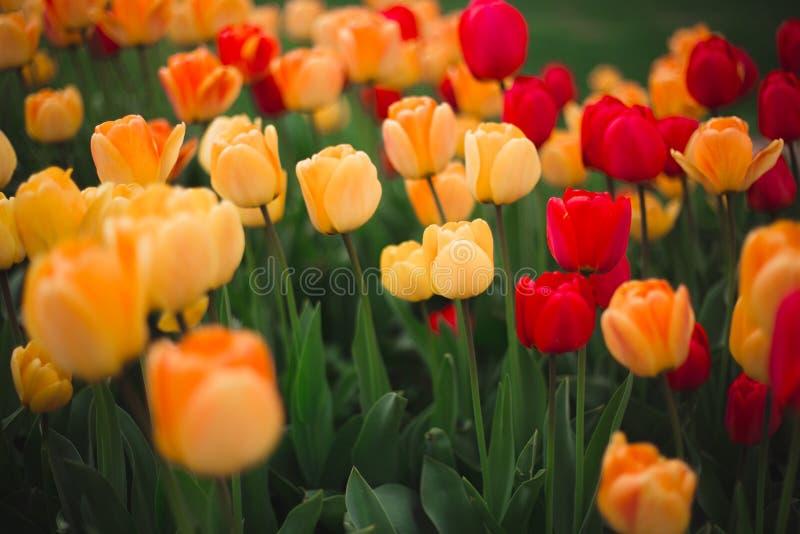 Närbilden av mångfärgade gula och röda tulpanblommor i parkerar arkivfoton