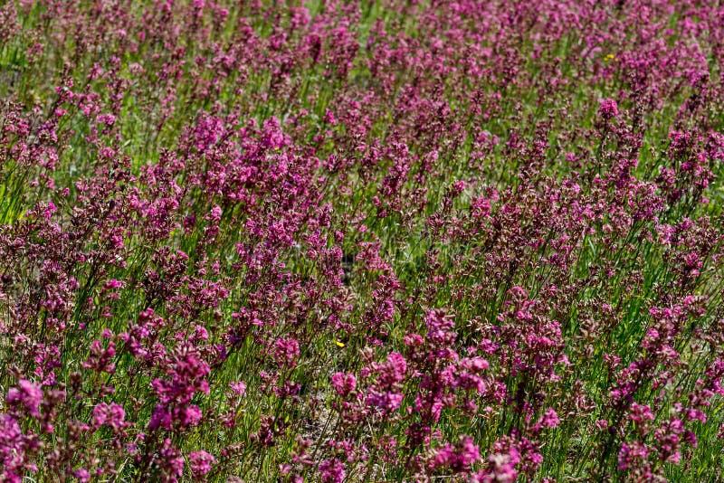 Närbilden av medicinalväxtsileneyunnanensisen kallade mästaren med små härliga purpurfärgade blommor royaltyfria foton