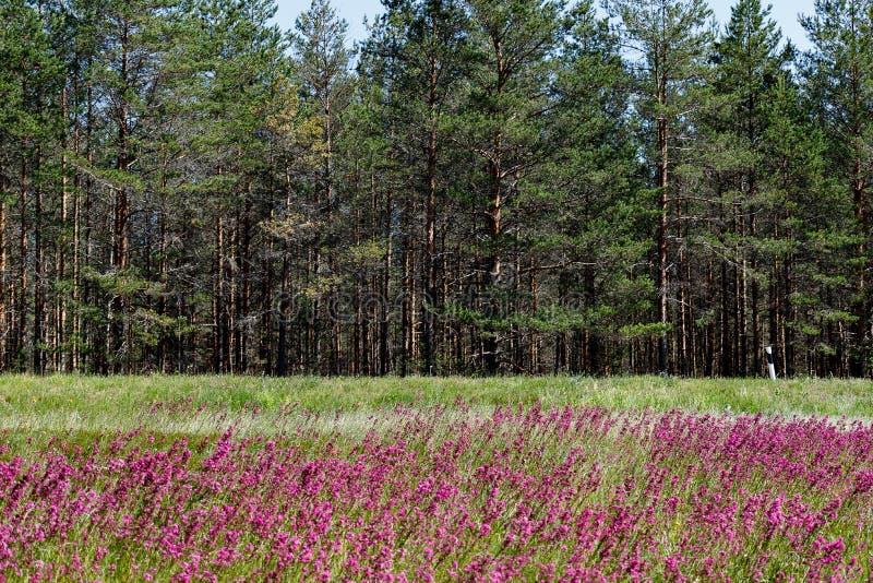 Närbilden av medicinalväxtsileneyunnanensisen kallade mästaren med små härliga purpurfärgade blommor royaltyfri fotografi