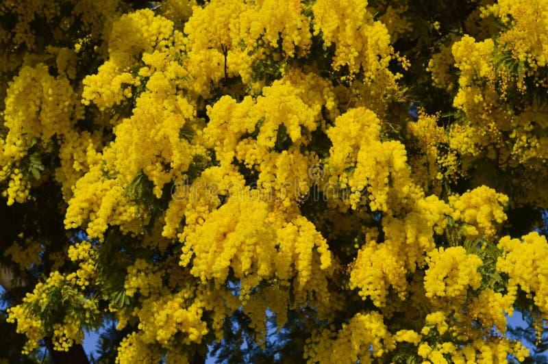 Närbilden av mimosan i blom, försilvrar wattlen, akacian Dealbata royaltyfri bild