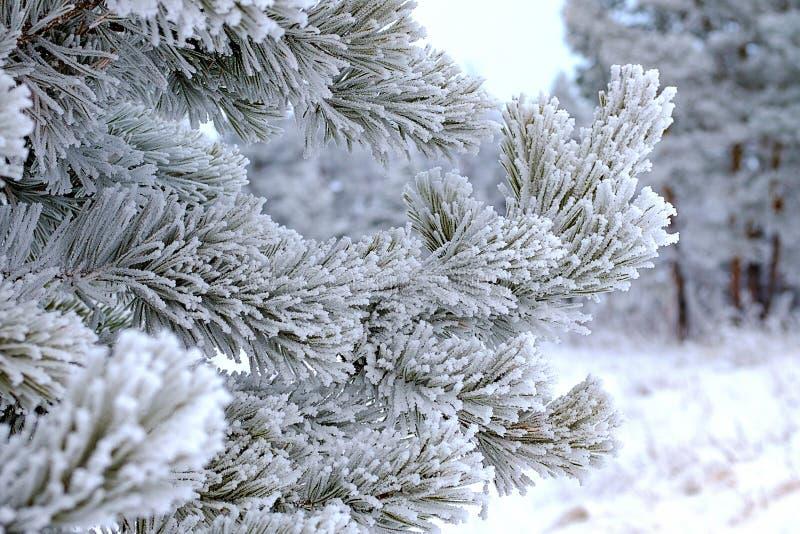 Närbilden av sörjer filialer alla visare i frost efter sträng frost arkivbilder