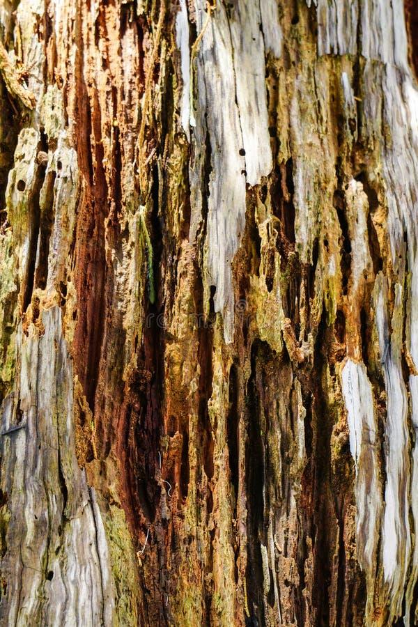 Närbilden av sörjer trädskället i skog fotografering för bildbyråer