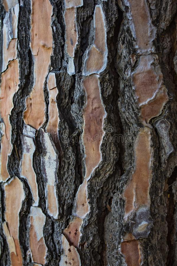 Närbilden av a sörjer trädstammen som visar dess trätextur Utrymme som skriver texter och designer royaltyfri bild