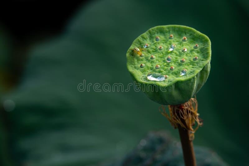 Närbilden av sakrala Lotus kärnar ur fröskidan med vattendroppar och krypet royaltyfria bilder