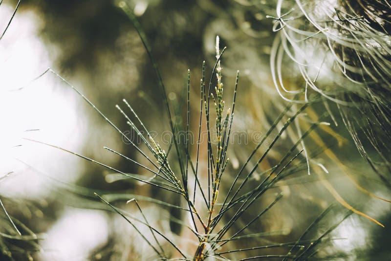 Närbilden av sidor av australiern sörjer, beefwooden, gemensamt järnträ, falskt järnträ som är falskt sörjer, den Queensland träs arkivfoton