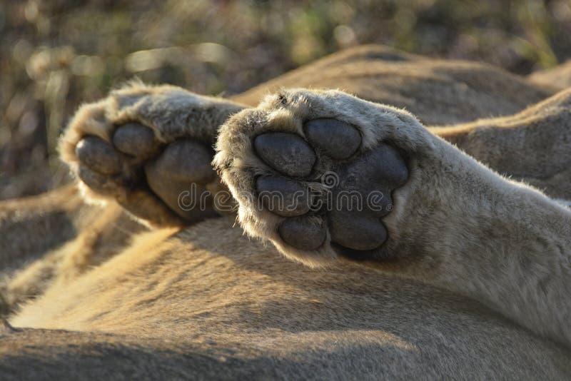 Närbilden av tafsar av ett lejon i detalj arkivbild