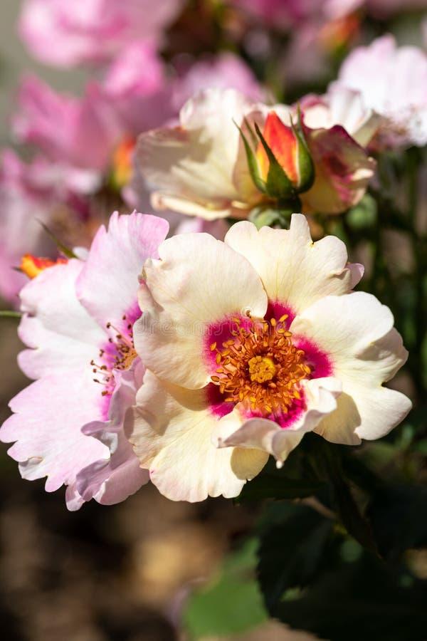 Närbilden av unikt mångfärgat i din hybrid- buske för ögon steg med knoppen och andra blomningar i suddig bakgrund arkivfoto