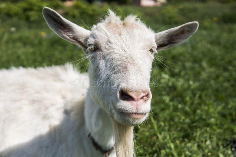 Närbilden på den vita roliga geten på en kedja med ett långt skägg som betar på gräsplan, betar fältet i en solig dag lantbruk royaltyfri foto