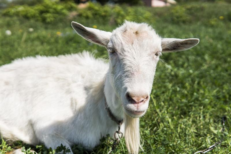 Närbilden på den vita roliga geten på en kedja med ett långt skägg som betar på gräsplan, betar fältet i en solig dag lantbruk fotografering för bildbyråer