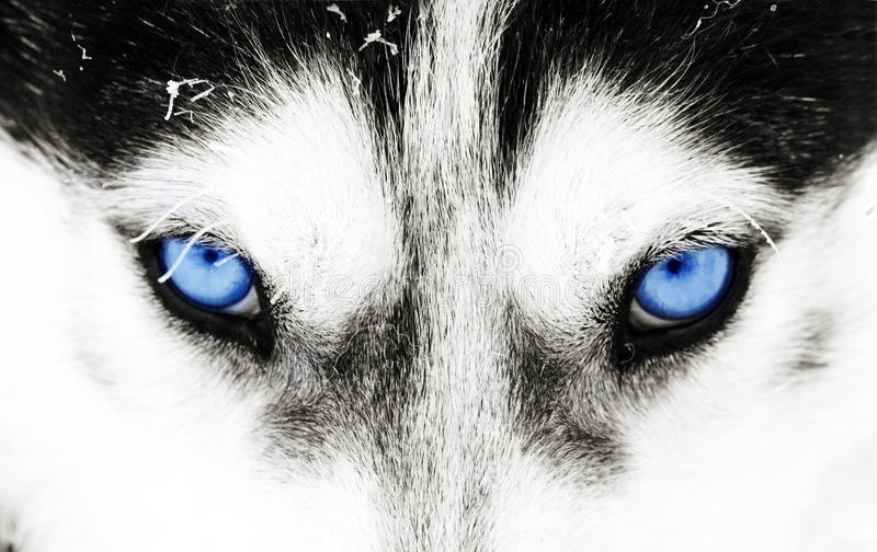 Närbilden sköt av en skrovlig hunds blåa ögon arkivfoton