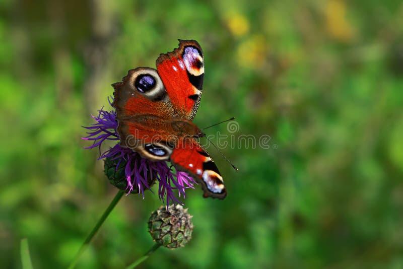 Närbilden specificerade fotoet av en europeisk påfågelAglais io fjäril fotografering för bildbyråer