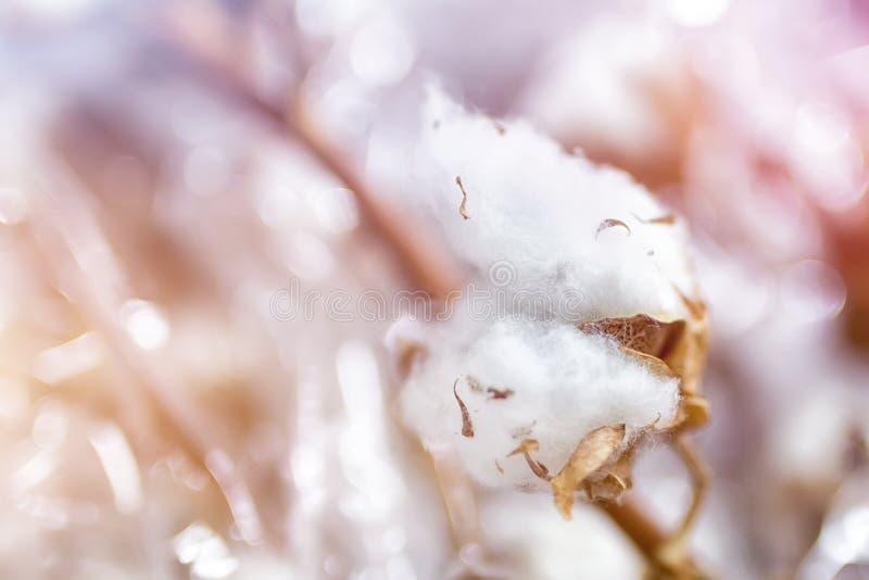Närbildfilial av vita bomullsblommor Delikata torkade bomullsblommor samlar ihop royaltyfri bild