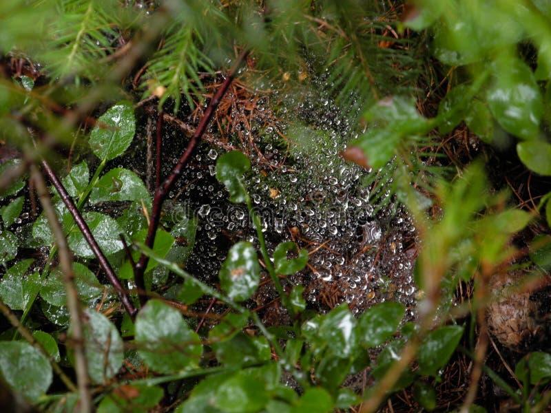 Närbildfoto av daggiga skinande spindels rengöringsduk i skogen arkivfoton
