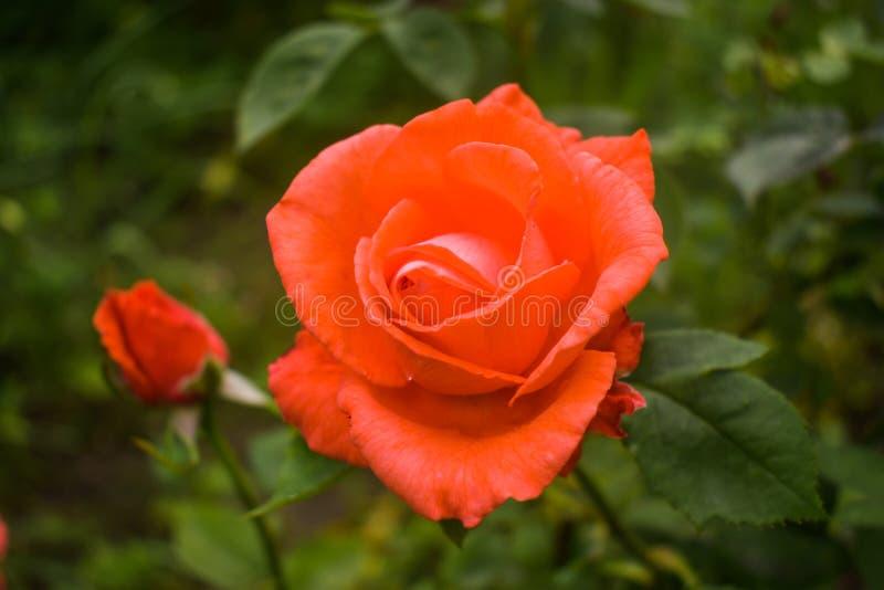 Närbildfoto av den ljusa orange rosen i trädgården Liliummedlemmar, som är av riktiga liljor, är ett släkte av den örtartade blom arkivfoto