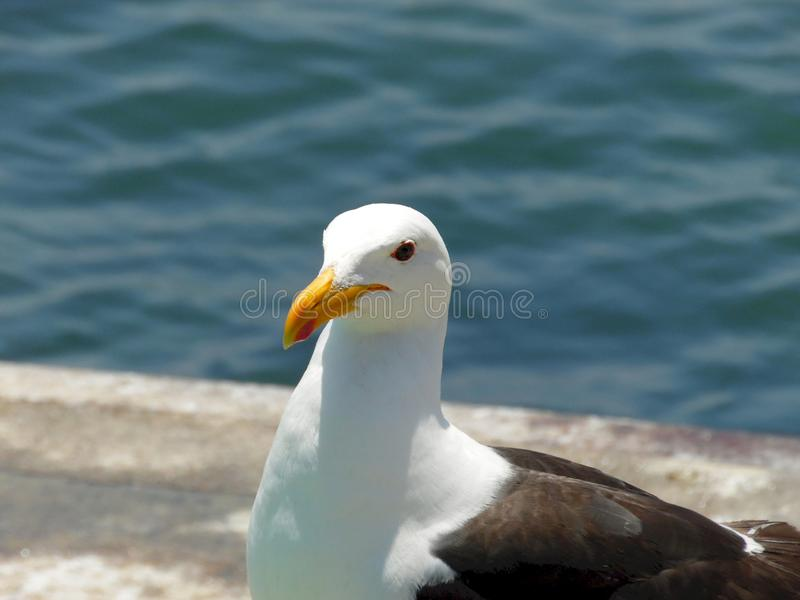 Närbildfoto av en seagull på en fishers marknad arkivfoto