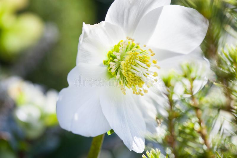 Närbildfoto av Niger för härlig Helleborus för jul rosa den vita blomman i wintergarden royaltyfri fotografi