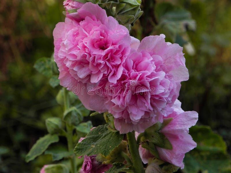 Närbildfoto av rosa nya pioner i trädgården arkivbilder