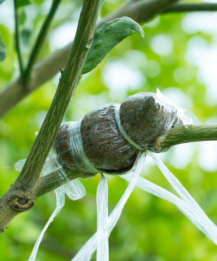 Närbildfoto av trädfilialen som inympades arkivbild