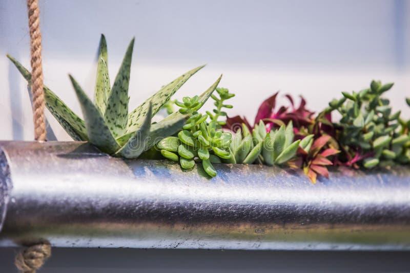 Närbildgrupp av suckulentordningen i metallvas Variation av suckulenter som planteras i ett rör arkivfoto