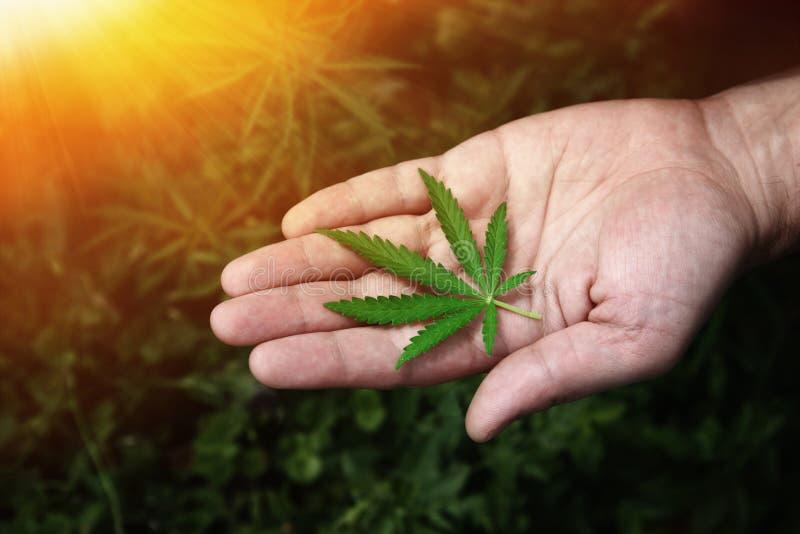 Närbildhänder av mannen som rymmer blad av hampaväxten Legalisering av cannabis, marijuana, örter Ett blad av marijuana i handen arkivbild