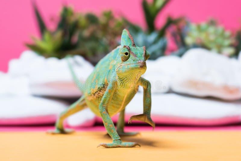 närbildsikt av den gulliga färgrika kameleontkrypningen royaltyfri fotografi