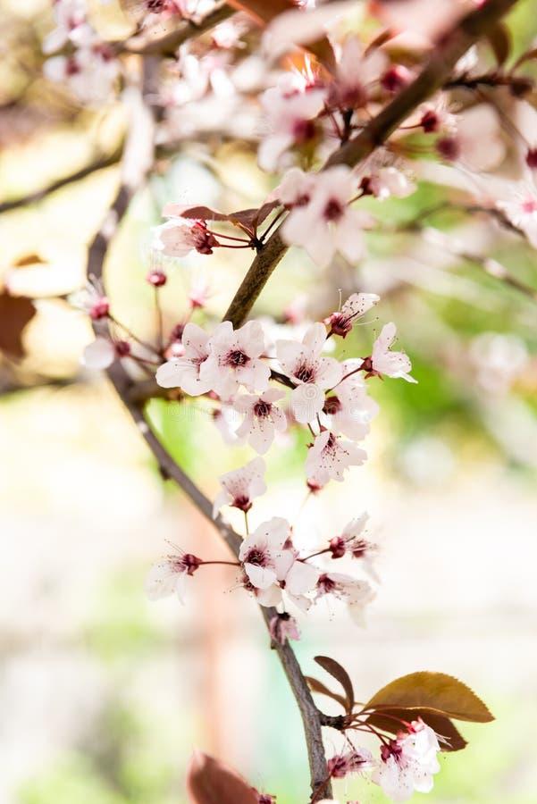 närbildsikt av den härliga blommande filialen för körsbärsrött träd, royaltyfri fotografi