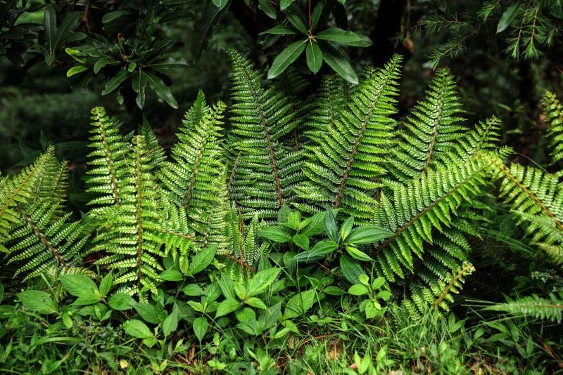 närbildsikt av den härliga gröna ormbunken som växer i indiska Himalayas, arkivbilder