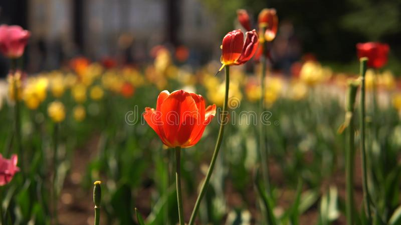 Närbildsikt av den härliga röda och gula tulpan som växer på en rabatt i stad och suddiga växter, folk och flytta sig royaltyfria foton