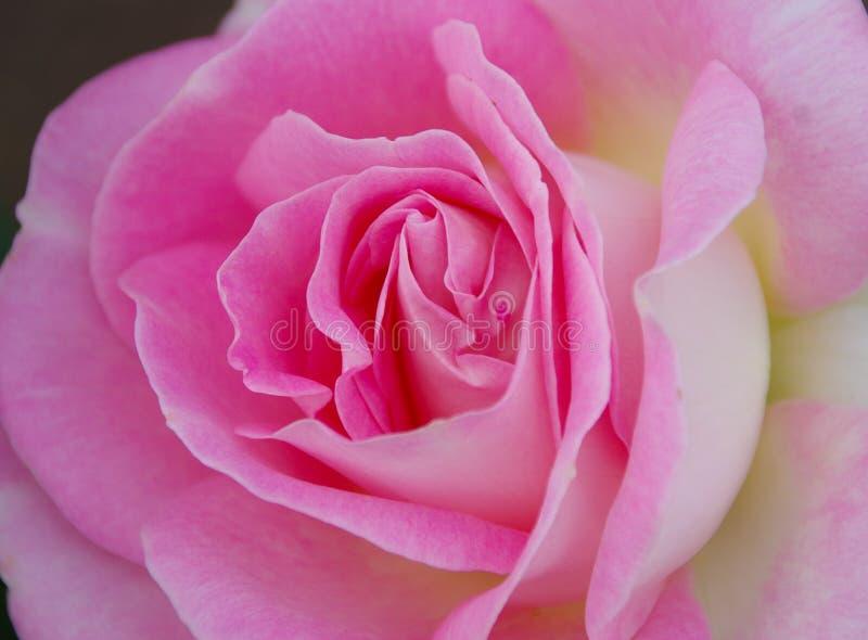 Närbildsikt av den ursnygga rosa färgrosblomningen arkivfoton