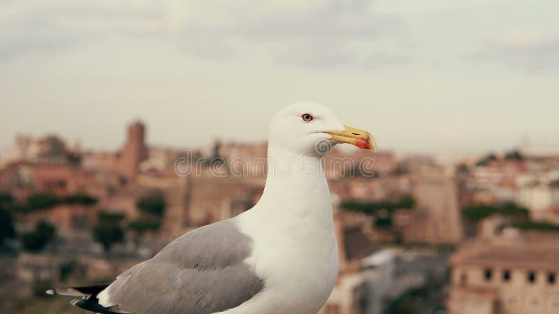 Närbildsikt av den vita lilla seagullen som omkring ser Mot bakgrunden av de gamla stadstaken arkivfoton