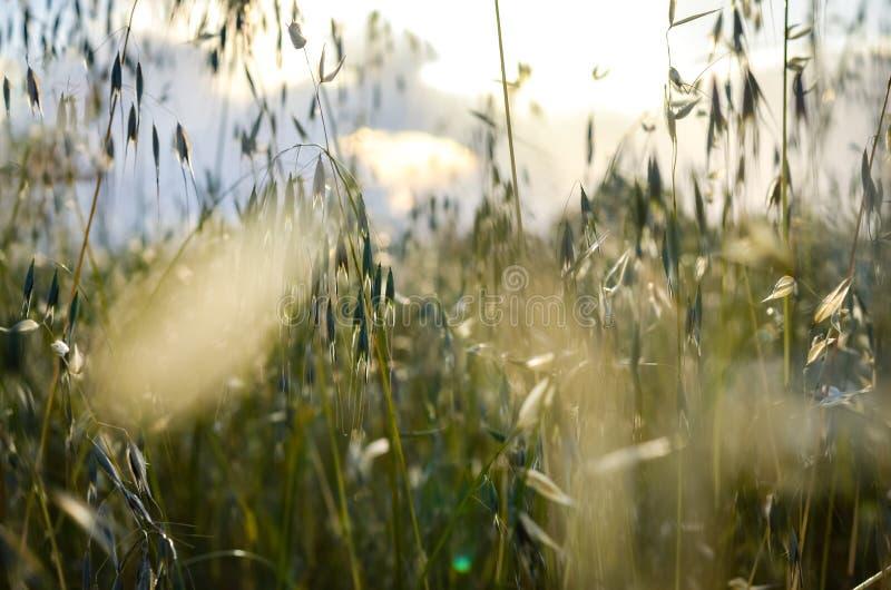 Närbildsikt av det suddiga fältet för lös havre för vår över ljus himmel under sommar royaltyfria foton