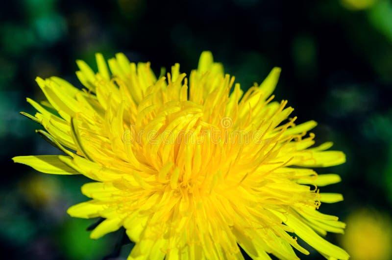 Närbildsikt av en gul maskrosblomma arkivbild