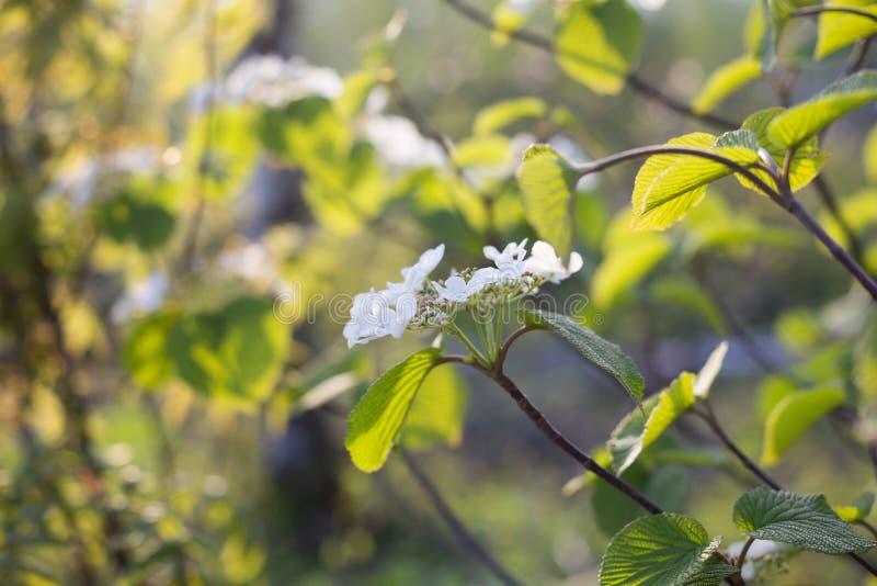 Närbildsikt av en vit blomma för lös vanlig hortensia i blom i vår på grön bakgrund arkivfoto