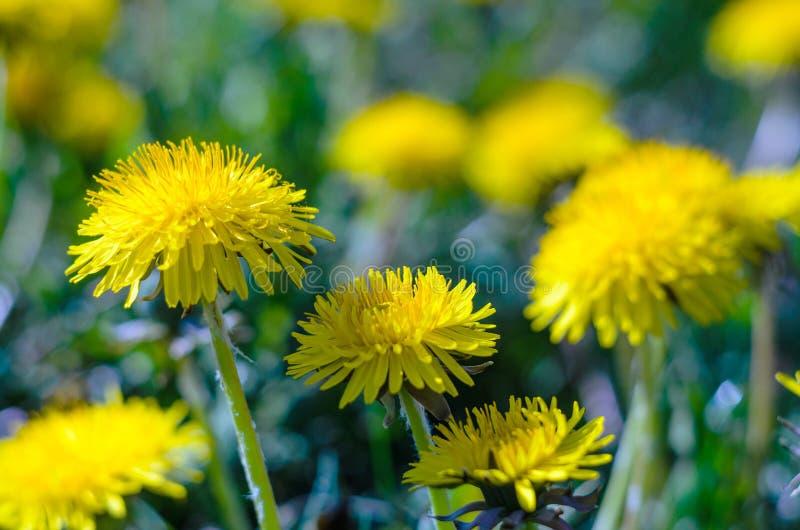Närbildsikt av gula blommor för en maskros arkivfoton
