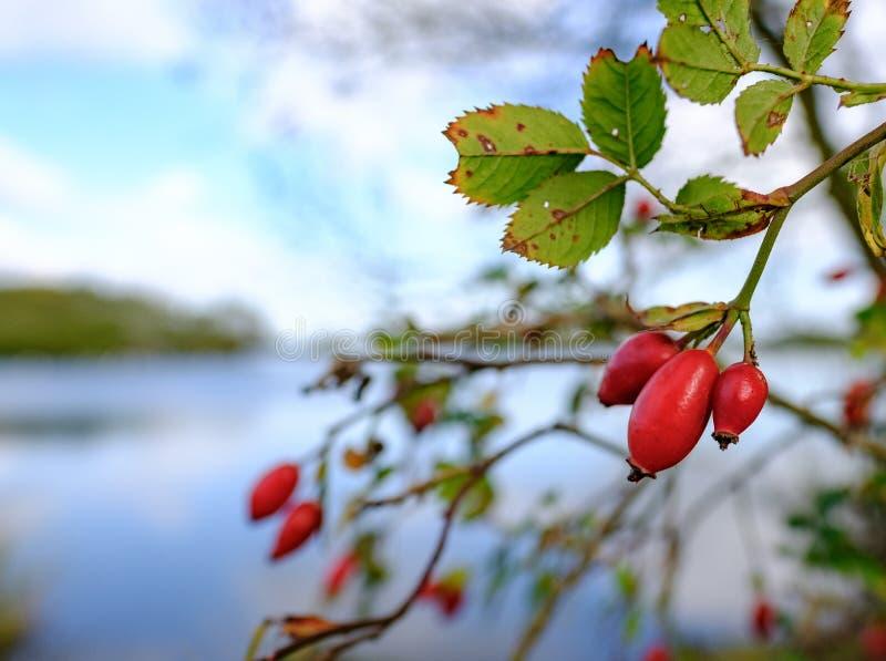 Närbildsikt av mognade nyponbär som ses av sidan av en stor sjö i vinter royaltyfria foton