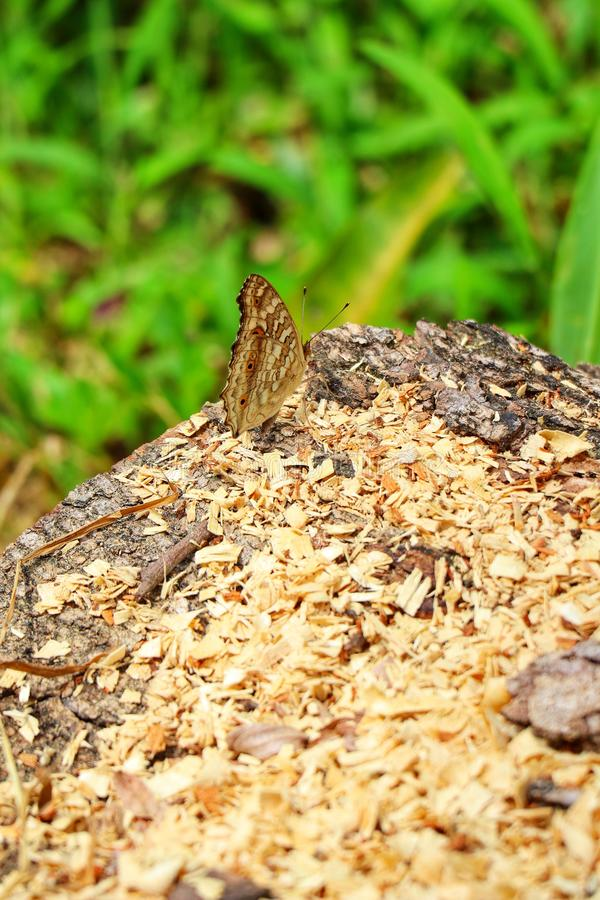 Närbildsikt, bästa sikt, naturlig bakgrund för härlig brun fjäril i tropisk skog royaltyfri foto