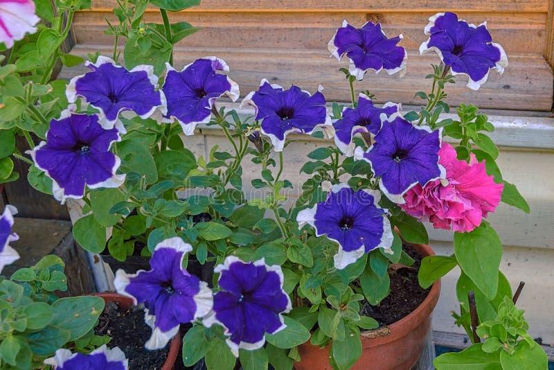 Närbildsikt till blomman av den inlagda blommande petunian i countrysid royaltyfria bilder