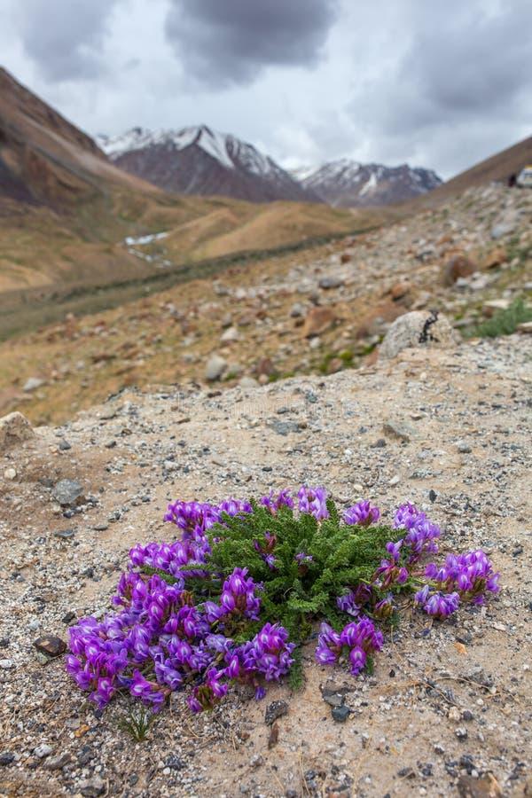 Närbildsikten av härliga lilor blommar att blomma i steniga berg i indiska Himalayas royaltyfri bild