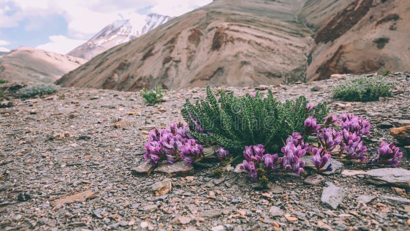närbildsikten av härliga lilor blommar att blomma i steniga berg i indiska Himalayas, royaltyfri foto