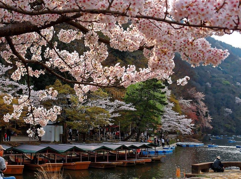 Närbildsikten av Sakura blommar körsbärsröda blomningar av Katsura River arkivfoto